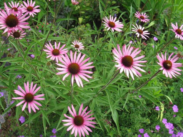 Echinacea-tennesseenis-Rocky-Top-hybrid-700 | Hyland Garden Design