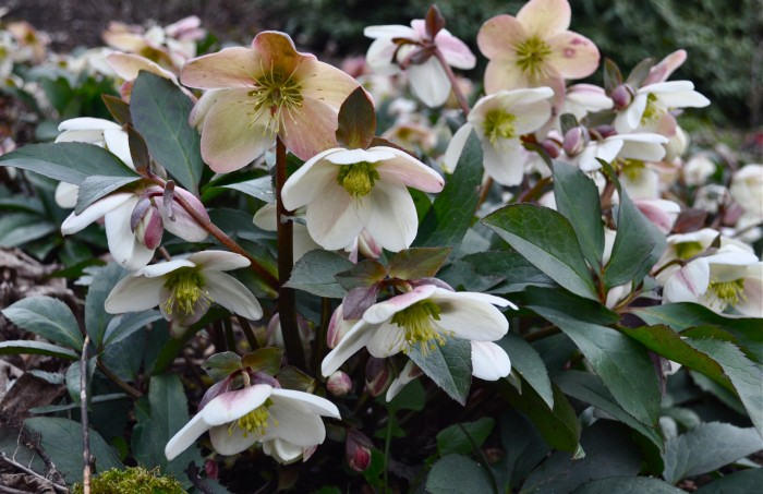 Helleborus hybrid Harborton | Hyland Garden Design