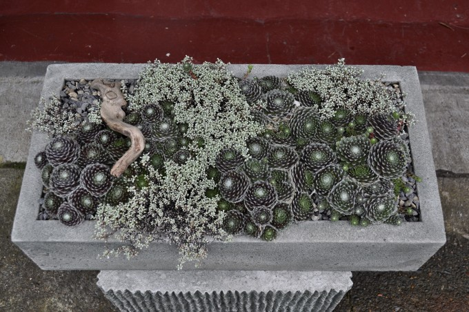 CE-Sempervivum trough