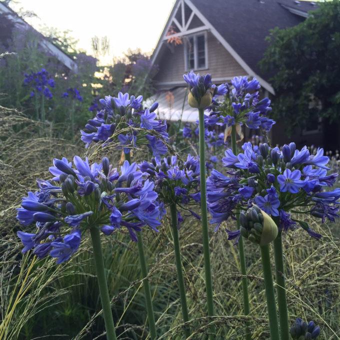 HGD-Agapanthus 'Joyful Blue'