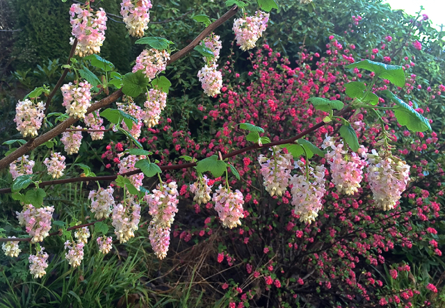 Winter turns to Spring...Ribes sanguineum var. glutinosum